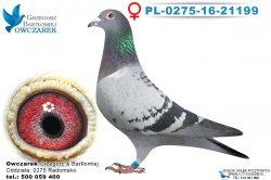 PL-0275-16-21199-samica