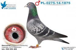 PL-0275-14-1875-samiec
