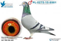 PL-0275-15-8981-samiec