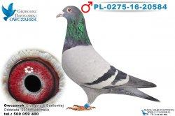 PL-0275-16-20584-samiec
