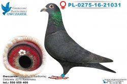 PL-0275-16-21031-samica
