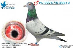 PL-0275-16-20619-samiec